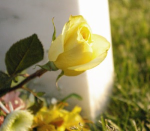 yellow-rose-1
